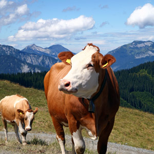 mountain cow every day