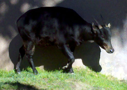 Anoa at the San Diego Zoo