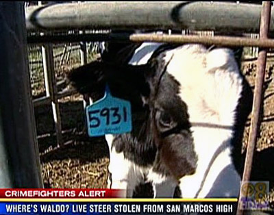 Daily cow is a stolen steer at San Marcos High School