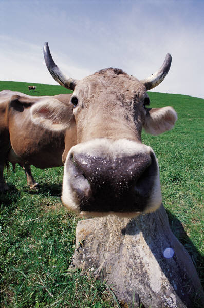 Every day you see a cow