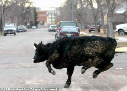 Unsinkable Molly B cow - Run, Molly, run!