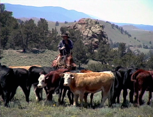 All About Cowboys video - cowboy and cows