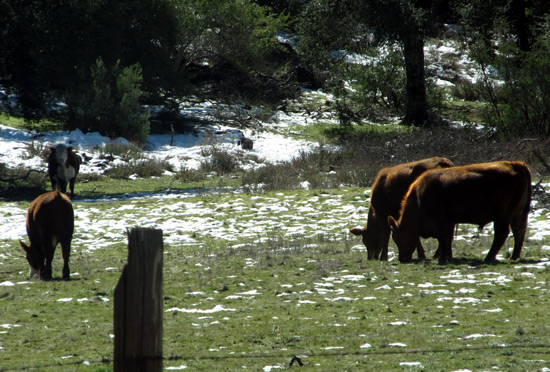 Cows in the San Diego mountains
