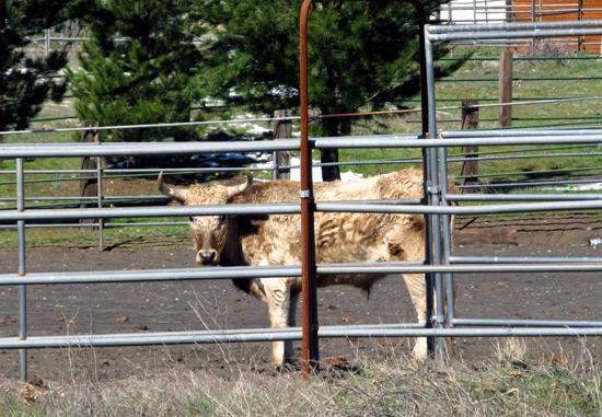 San Diego mountain cow