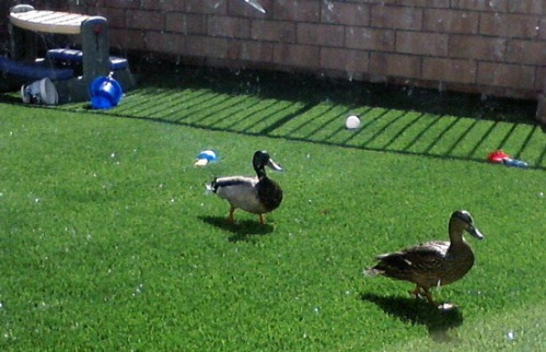 Mallard ducks in our backyard, but no cows!