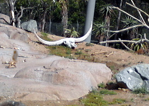 Cow skull in the condor exhibit of the San Diego Zoo