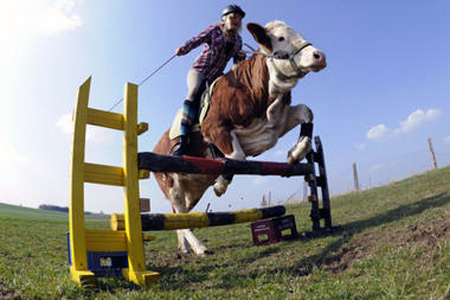 Luna the jumping cow