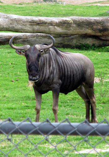 San Diego Safari Park wildebeest