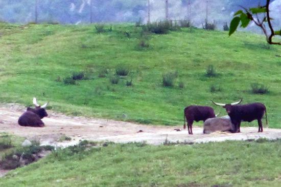 San Diego Safari Park - Ankole cattle