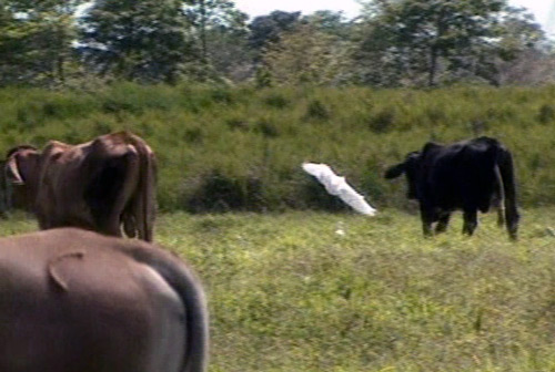 Rainforest cows and egrets