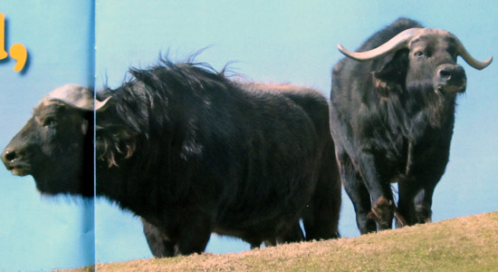 Cape Buffalo at the San Diego Safari Park