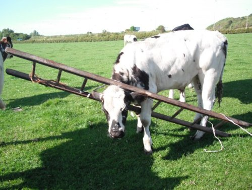 Cow gets head stuck in ladder