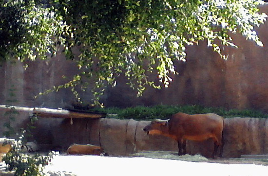 Forest buffalo and wild river hog at the San Diego Zoo
