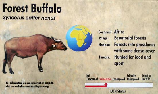 Forest buffalo - San Diego Zoo