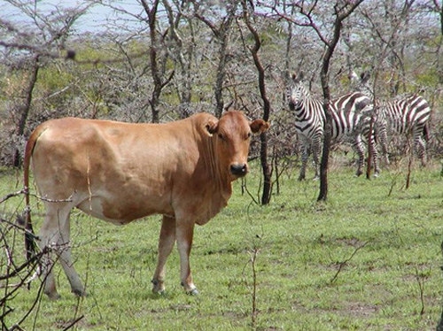 Cows and zebras make good lunch partners