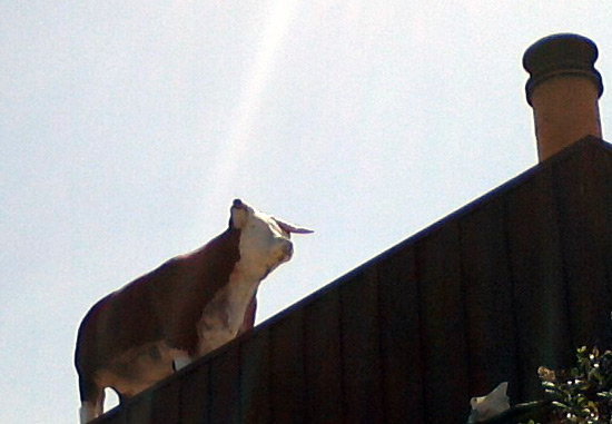 Cow on the roof of Pinnacle Peak