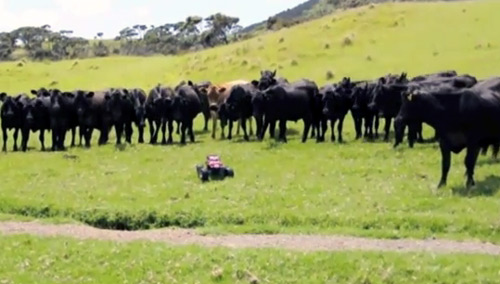 Remote control car rounds up the cows