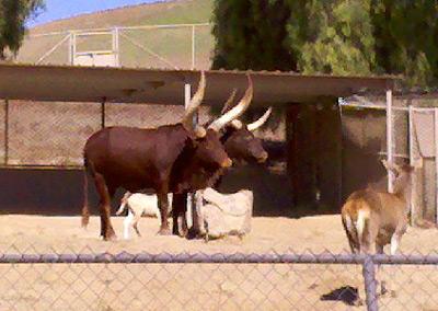 Angola cows at the San Diego Safari Park