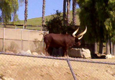 Angola cow horns