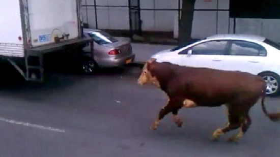 Runaway cow in Milford, CT