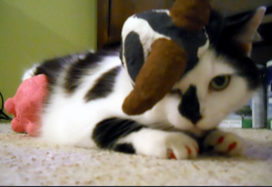 Pedro the cat dressed up as a cow for Halloween