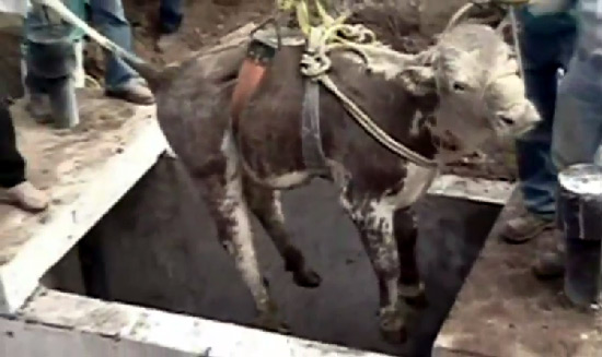 Trapped bull in water drain video - rescue
