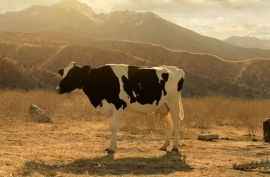 Cow in Got Milk commercial with cavemen