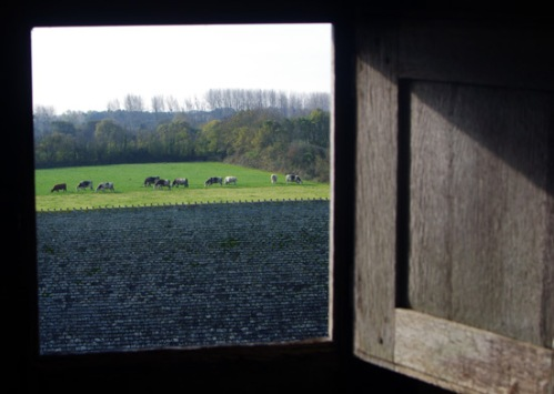 French Normandy dairy cows