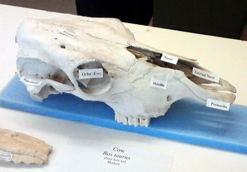 Cow skull at San Diego Natural History Museum