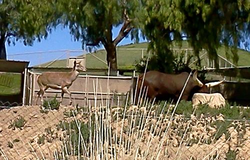 Angola cow at the San Diego Zoo Safari Park
