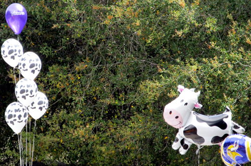 Birthday cow balloons