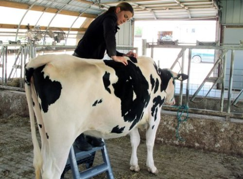 Dairy cow getting chiropractic treatment - Photo courtesy of AP
