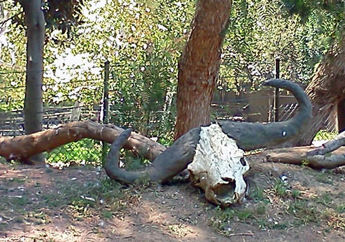 Cow skull at the San Diego Zoo Safari Park