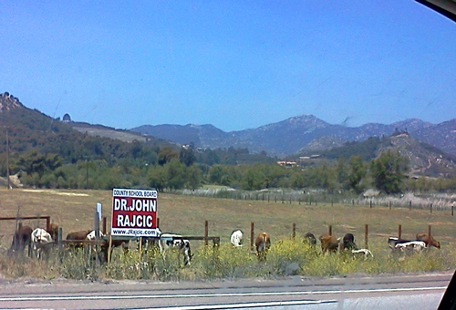 Cows grazing in Escondido, CA