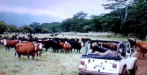 The cows in the movie The Descendants