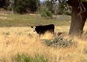 Cows grazing in a field in Julian, California