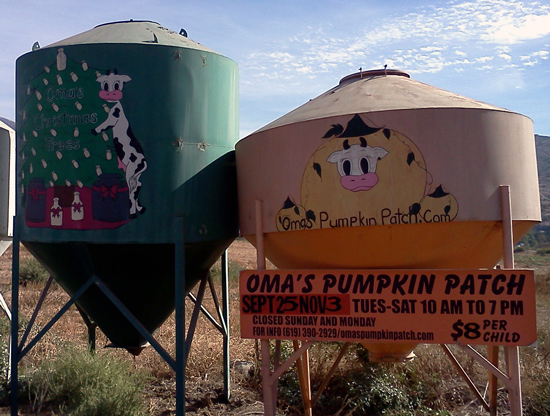 The cows at Oma's pumpkin patch in Lakeside, California