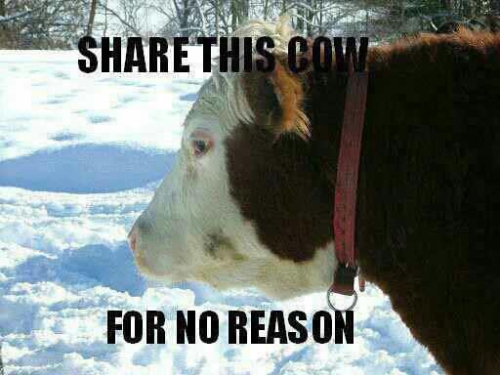 Cow on Facebook